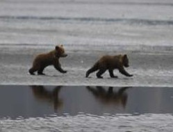 picture of mother and baby bear Alaska Bear Adventures