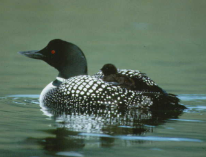 picture of the common loon duck