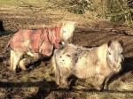 Miniature horses at Ashdown Forest Riding Centre