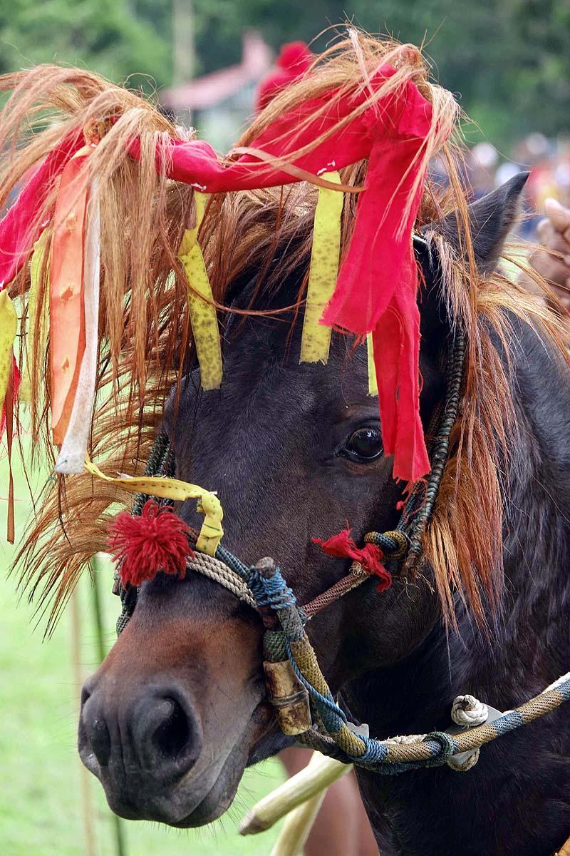 Pasola pony Indonesian Island of Sumba