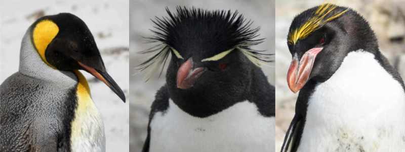 King penguin rockhopper penguin macaroni penguin Sealion Island Falklands