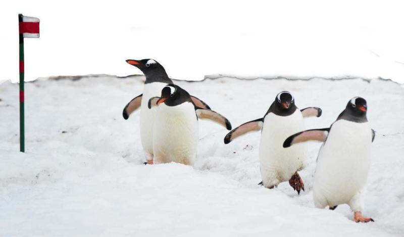 'COME ALONG BOYS' PENGUINS