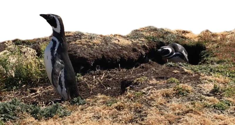magallenic penguins in their burow Sealion Island Falklands