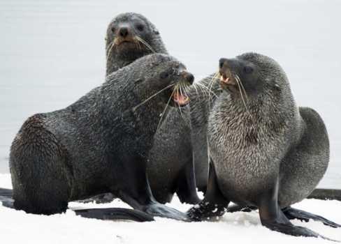 SEAL PUPS ANTARCTICA