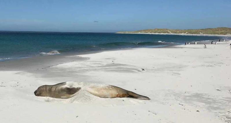 Elephant seal on Sealion Island Falklands