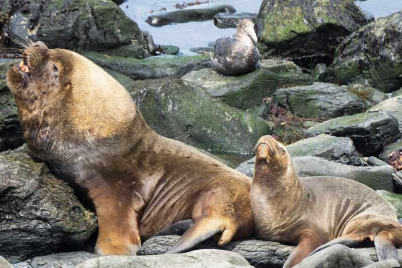 Sealions Sealion Island Falklands